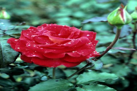 玫瑰花茶有什么功效,女性喝玫瑰花茶的好处多多