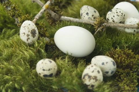 鹅蛋最美味和营养的吃法――艾叶煮鹅蛋