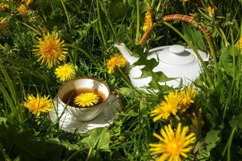 蒲公英茶有哪些功效?怎么搭配好喝呢?