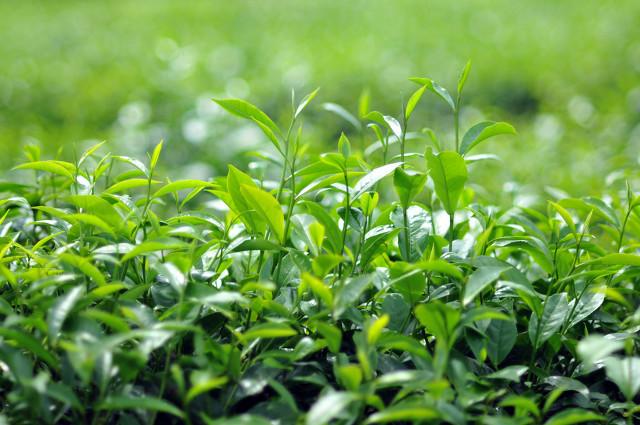 绿茶不适合哪些人?绿茶的副作用你知道吗