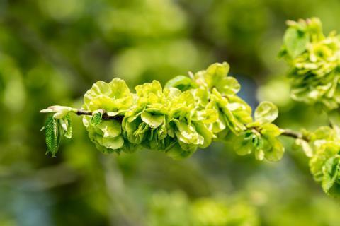 带有山野气息的春季美味――榆钱,其功能作用有哪些