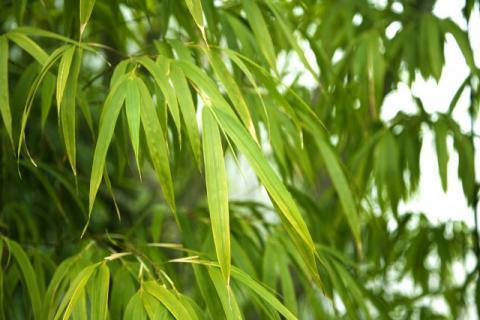 竹叶有哪些功效和作用,有哪些食用禁忌