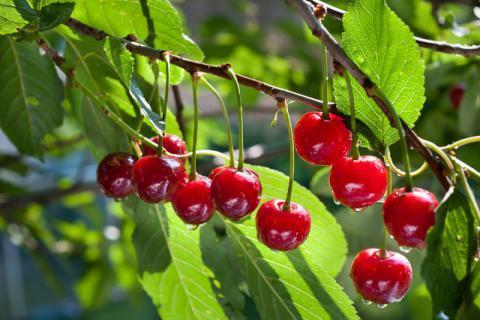 你还在怀念初恋的甜蜜吗,除了伤感你还可以来一颗樱桃
