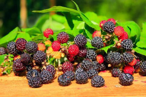 山间采摘的野果,和桑葚容貌相似却比它贵!