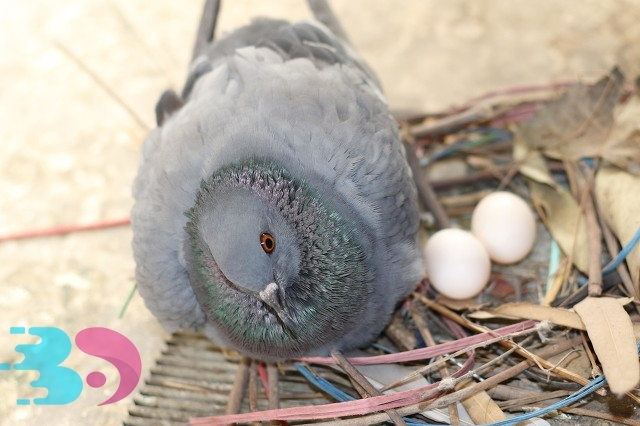 信鸽已经过时,但是价值蛋具有很高的鸽子营养狮子豹亚科图片