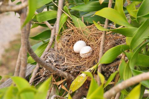 信鸽已经过时,但是鸽子蛋具有很高的营养价值
