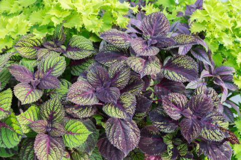"""在夏季被争相哄抢的""""野草"""",紫苏的3种食疗做法推荐"""