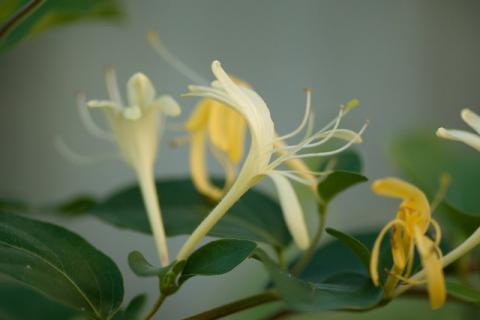 夏季里开的一朵花,清热祛湿全靠它