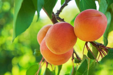 又到杏黄枝头的季节,酸甜爽口吃起来