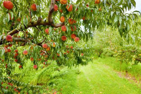 如何挑选新鲜的桃子,在食用时如何清洗干净桃子表面