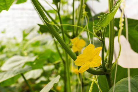 南瓜藤的功效有哪些,经常食用可以强身健体