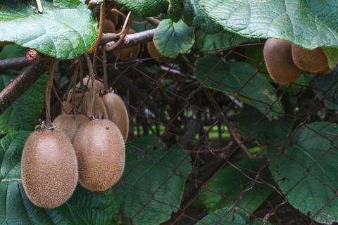 红心猕猴桃,孕妇补充维生素C的秘密武器