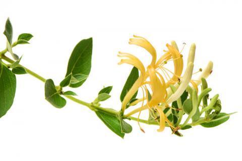金银花的作用有哪些    适合哪些人吃有什么食用禁忌