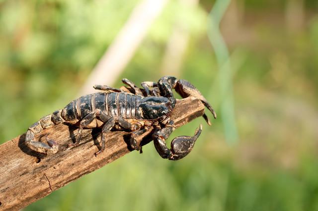 孩子能吃蝎子吗?
