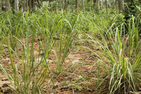 香茅草如何泡茶,路边常见的香茅草对身体有很好的滋补功效
