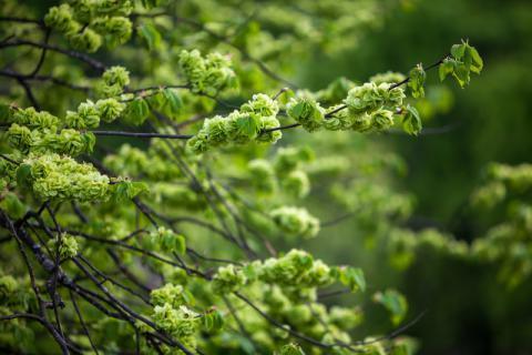"""榆树上的""""小铜钱"""",榆钱的食用方法有哪些"""