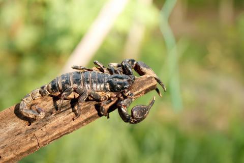活蝎子如何处理才能安全食用?食用蝎子会出现中毒的症状吗