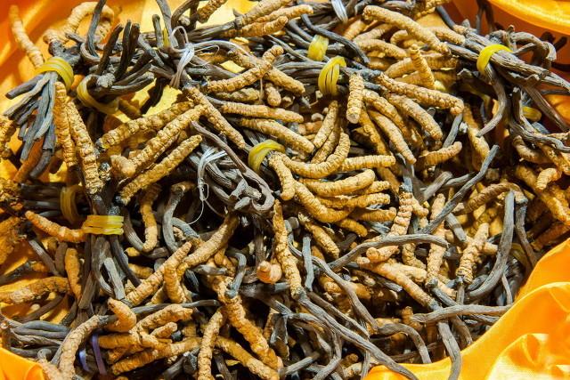 冬虫夏草的生长过程是什么?新鲜冬虫夏草可以食用吗