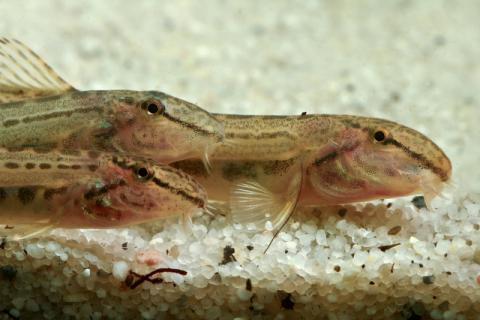 泥鳅如何处理不会有异味?泥鳅如何食用比较鲜美