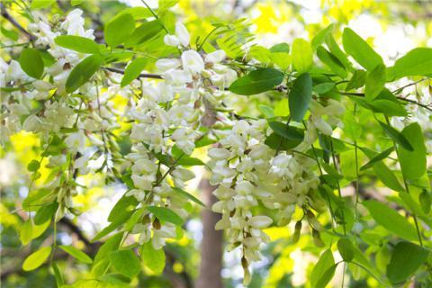 槐花儿的功效与作用,美貌与功效并存的槐花