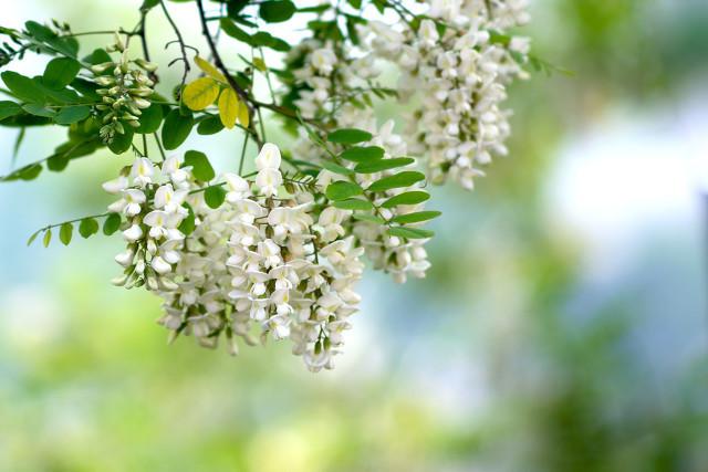 洋槐花可以凉拌食用吗