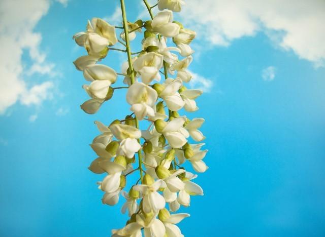 蒸洋槐花需要多长时间
