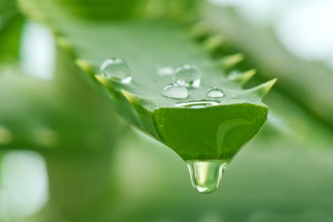 食用芦荟具有通便的作用吗?分清种类才能放心食用