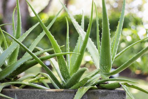 芦荟鲜汁灌肤的副作用有哪些呢?这种方法来美肌科学吗?