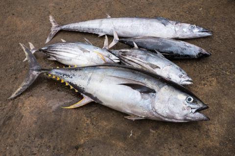 吃货们的福利特辑,章红鱼好吃还是金枪鱼?