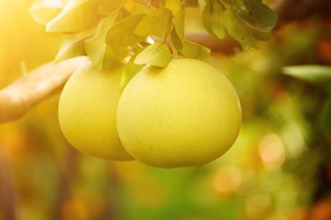 柚子皮能除甲醛吗?柚子皮的功效,柚子皮的妙用