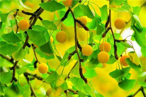 女人吃银杏果的好处有哪些?食用银杏果要谨慎,食用不当易中毒