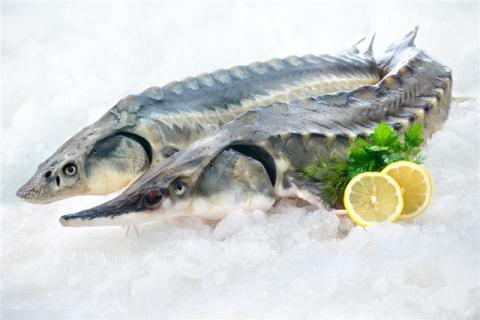 鲟鱼可以做生鱼片吗?鲟鱼有哪些营养价值?