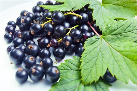 怎么区分黑加仑和蓝莓