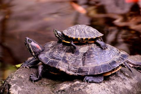 龟甲与龟甲胶有什么区别?龟甲怎么治肾亏?