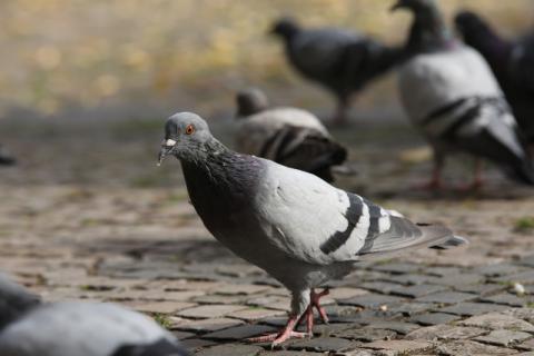鸽子肉怎么保存?吃鸽子肉有坏处吗?