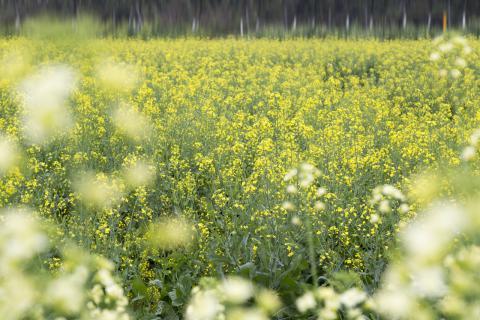 油菜花能产蜂蜜