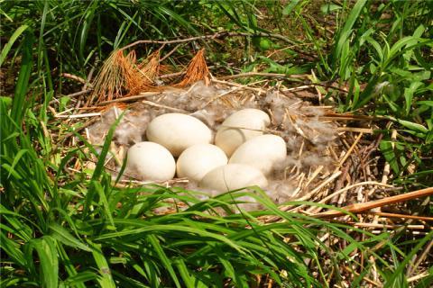 春天吃鹅蛋有什么好处