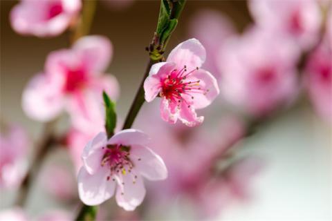 桃花泡茶喝能减肥吗