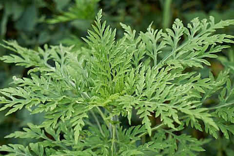 垂盆草的食用方法