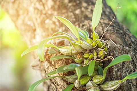 鲜铁皮石斛的吃法,新鲜铁皮石斛怎么保存?