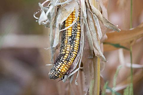 玉米秸秆有什么用途