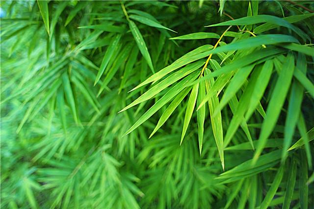 竹叶适合搭配什么泡茶?竹叶茶的功效