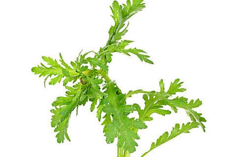 菊苣的药效是什么?菊苣有什么副作用?