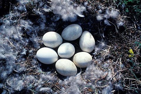 秋天吃鹅蛋有什么好处