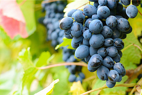 葡萄和提子有什么区别?提子的皮能不能吃?