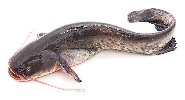 鲶鱼真的很脏吗