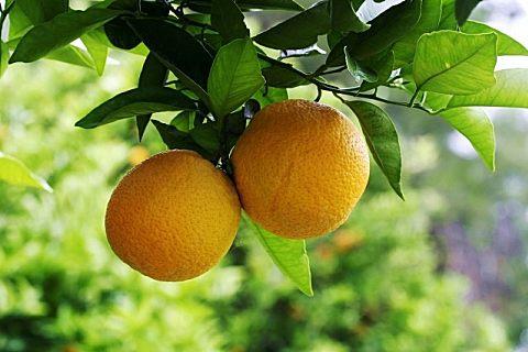 澳橘与普通橘子有什么不同