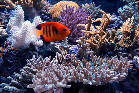 珊瑚能不能食用?珊瑚的药用价值
