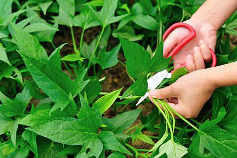 番薯叶的营养吃法