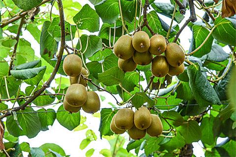 生猕猴桃能吃吗